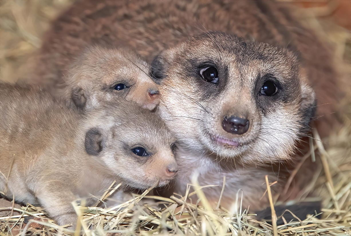 Yam Yam huddles with her two pups in a meerkat habitat Feb. 3 at Zoo Miami in Miami. (Ron McGill/Zoo Miami)