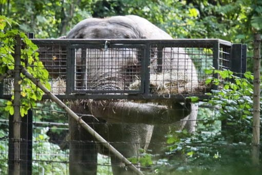 """Bronx Zoo elephant """"Happy"""" feeds inside the zoo's Asia habitat Oct. 2, 2018, in New York. Earlier this month, animal rights advocates lost a bid seeking to get Happy declared to have human-like rights and transferred to a sanctuary, though a judge said the case for sending the pachyderm to a sanctuary was """"extremely persuasive."""" (Bebeto Matthews/Associated Press files)"""