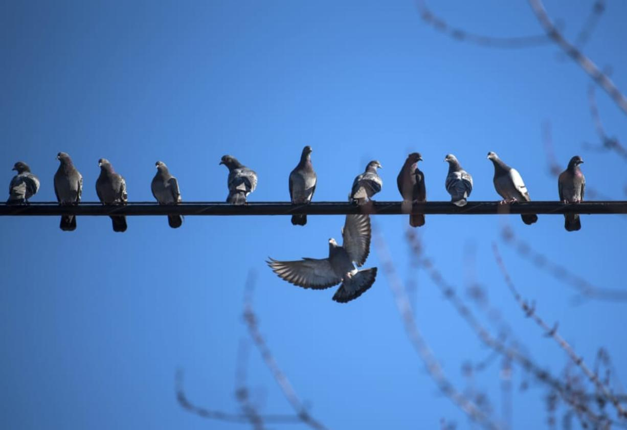 Pigeons rest on a wire outside a Vancouver home. (Alisha Jucevic/The Columbian files)