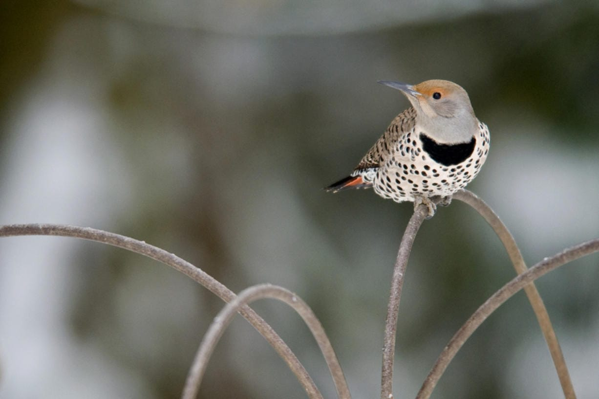 Learn the difference between a northern flicker and a winter wren at the Introduction to Bird Identification on Feb. 22 at the Battle Ground Community Library. (The Columbian files)