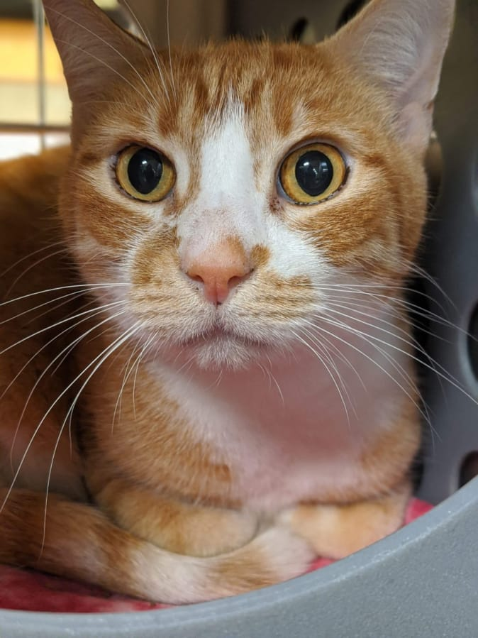 Hey friends! I'm Cheetoh and I'm looking to find a new home with some humans who will love me for the awesome cat that I am! I would do best in a home with kids over age 6. I would like to meet any kids I might be living with. I need to be the only cat in my new home. It can take me a while to get comfortable. I need a home where I can take it slow. I need an indoor/outdoor home. These pets are among those available for adoption from noon to 6 p.m. Tuesday through Sunday at the Humane Society for Southwest Washington, 1100 N.E. 192nd Ave., Vancouver. The Humane Society is closed to the public on Mondays. Fees — which can include registered microchip, health exam, a spay or neuter certificate and vaccination — vary. Call 360-693-4746.
