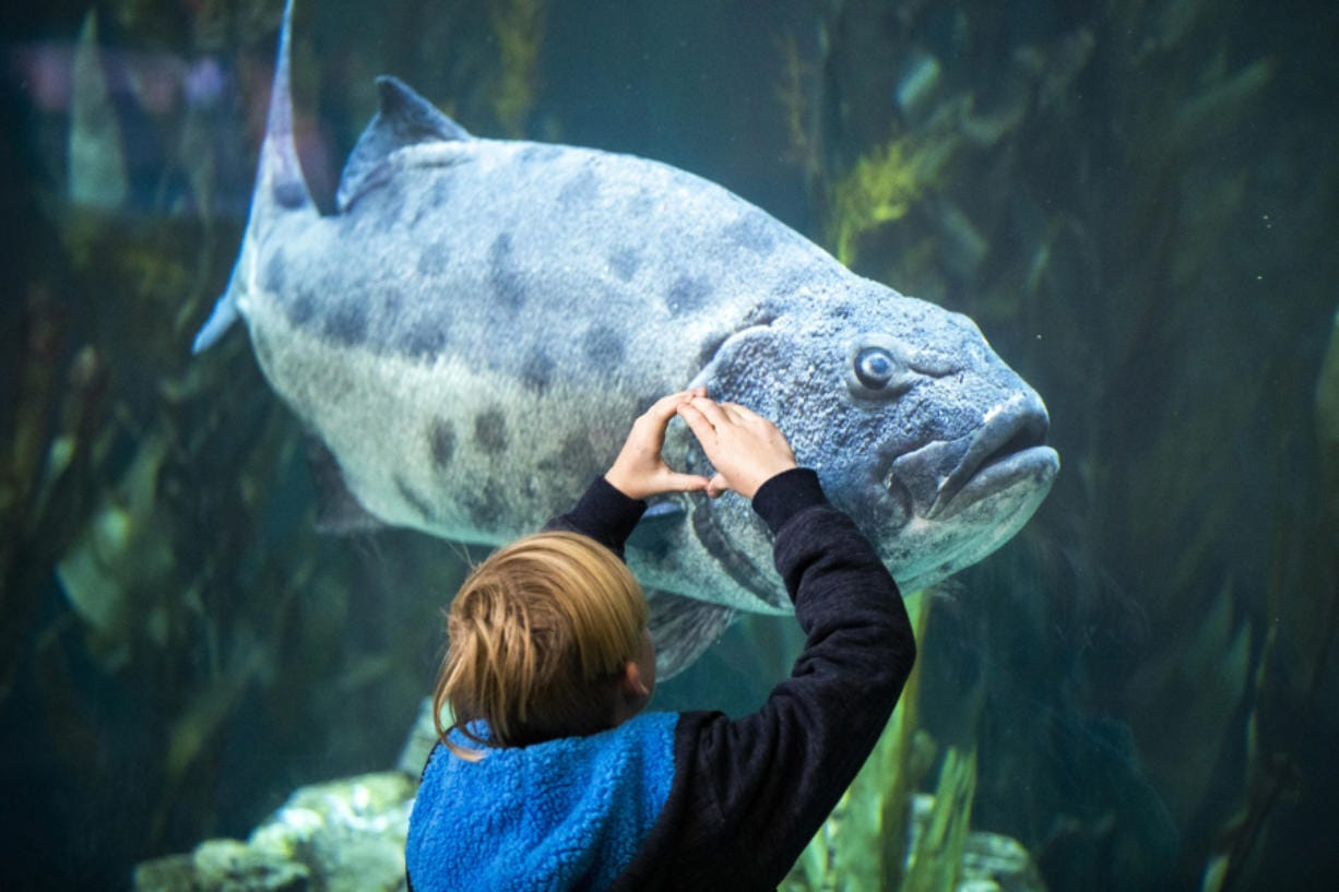 A child interacts with an endangered adult giant sea bass in the Blue Cavern in the Aquarium of the Pacific in Long Beach, Calif., on January 15, 2020. (Allen J.