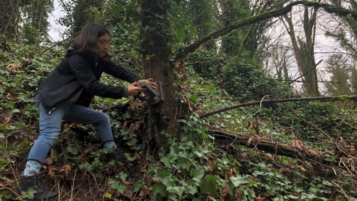 Sophie Yasuda, a junior biology major at Seattle University, checks a trail camera in Seattleis Westcrest Park set up by the Urban Carnivore Project.