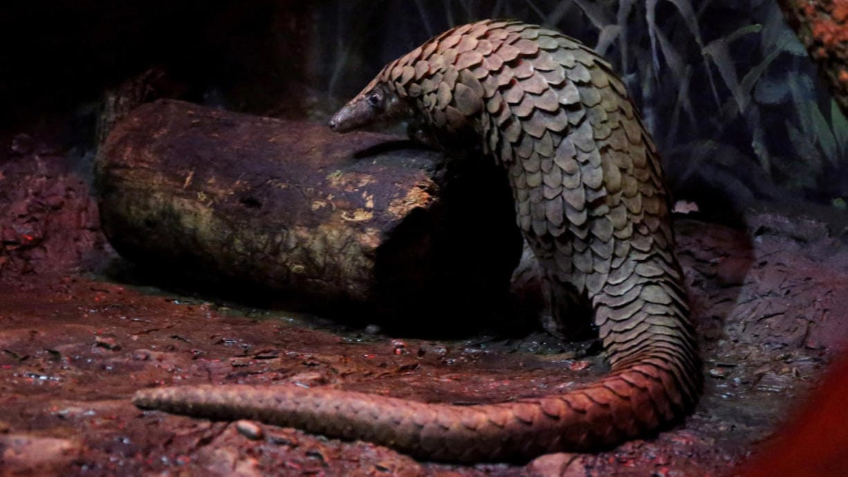 Biggie, a pangolin at the Brookfield Zoo, moves in his enclosure on Feb. 13. World Pangolin Day is Saturday. Scientists aren't sure how the coronavirus migrated to humans, but they think it may have passed from a bat to a pangolin and then to humans at a meat market. (Antonio Perez/Chicago Tribune)