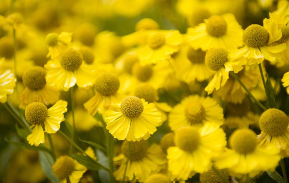 Helenium autumnale, also known as sneezeweed, grows at the Brush Prairie Wildlife Botanical Gardens. (Columbian files)