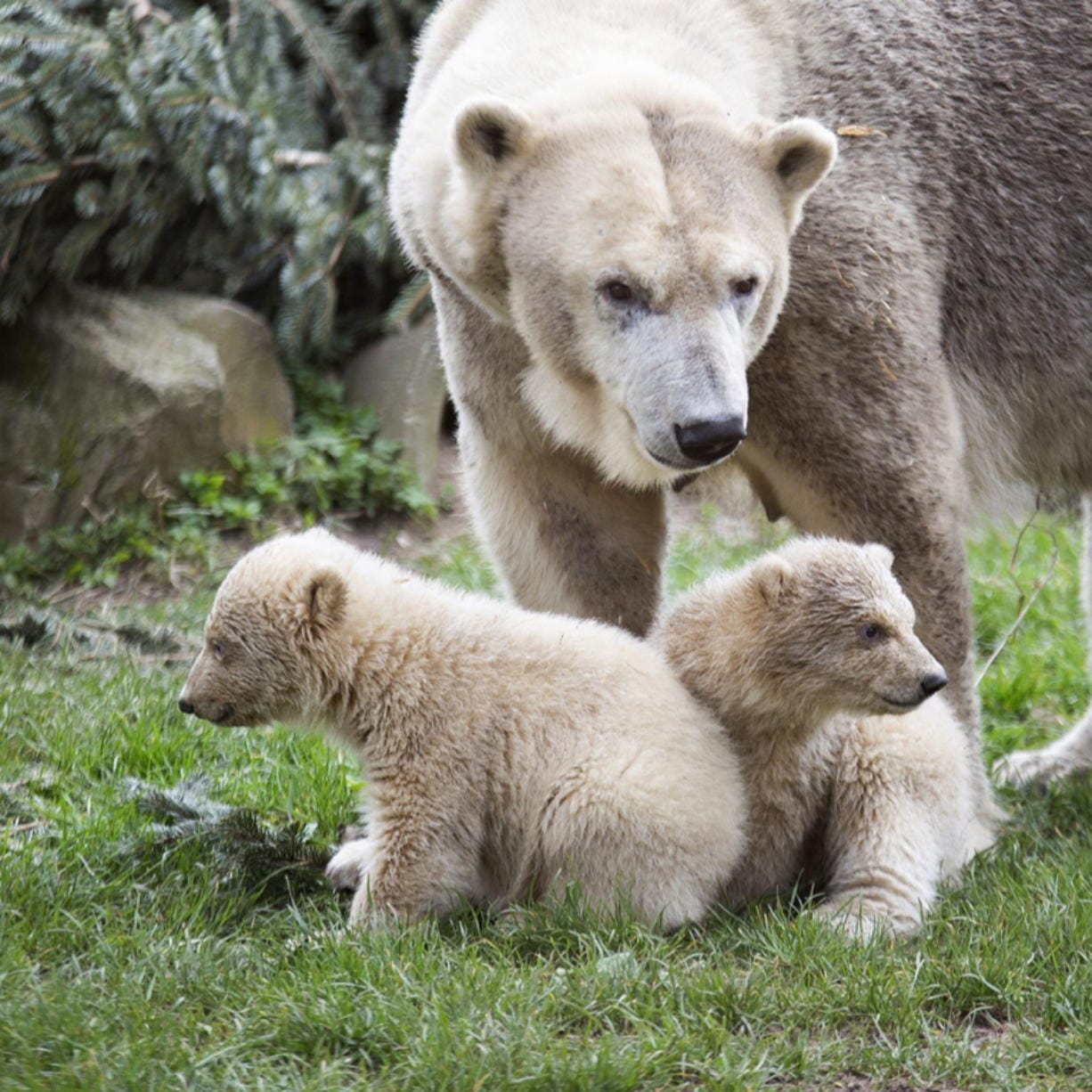 Two polar bear cubs make their debut Wednesday at the Ouwehands Zoo Rhenen in Rhenen, Netherlands, without the public because of coronavirus restrictions. (tonny hoevers/Ouwehands Zoo Rhenen)