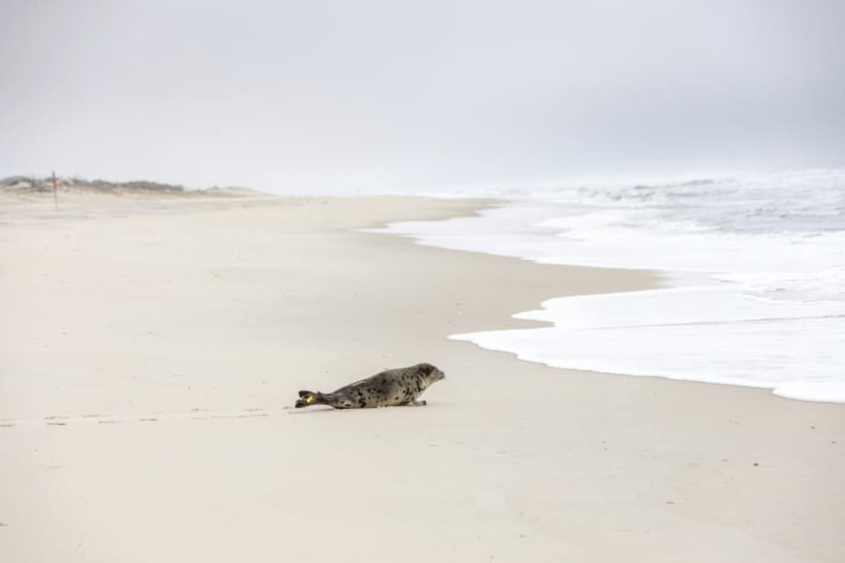 In this Tuesday, March 17, 2020 photo provided by The National Aquarium, a harp seal named Amelia Bedelia makes its way to the ocean in Salisbury, Md.,  after it was released following rehabilitation at the aquarium in Baltimore.  The seal was rescued from Ocean City, Md., by the Aquarium's Animal Rescue team after severe dehydration.