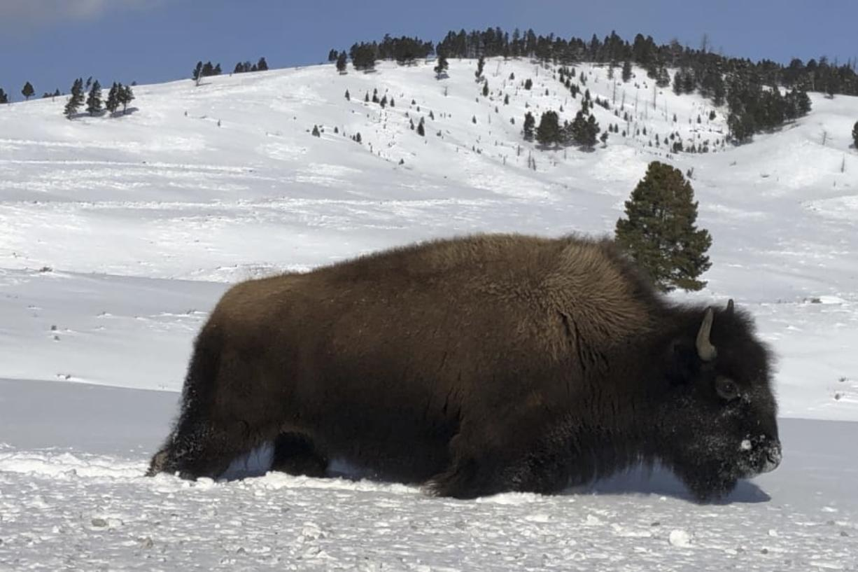 A bison walks Feb. 17 through the snow in Yellowstone National Park's Lamar Valley near Mammoth Hot Springs, Wyo. Park officials said hundreds of bison were removed from the park's herds this winter by hunters and a controversial slaughter program.