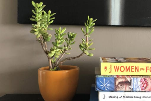 Jade plant. A succulent needs little water, can withstand full sun to part shade, may grow to 4 feet tall and produces tiny pink or white star-shaped slowers.