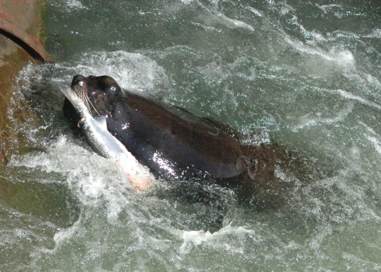 A California sea lion eats salmonids (salmon or steelhead) at Willamette Falls.