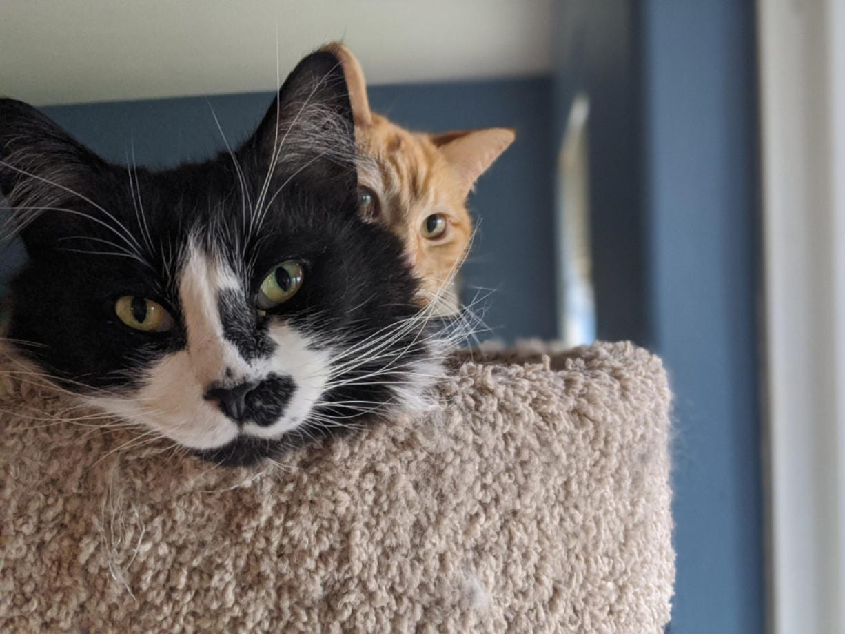 Jamie and Finlay, two of Web Editor Amy Libby's four cats, play on the cat tree in the living room of her Orchards-area home.