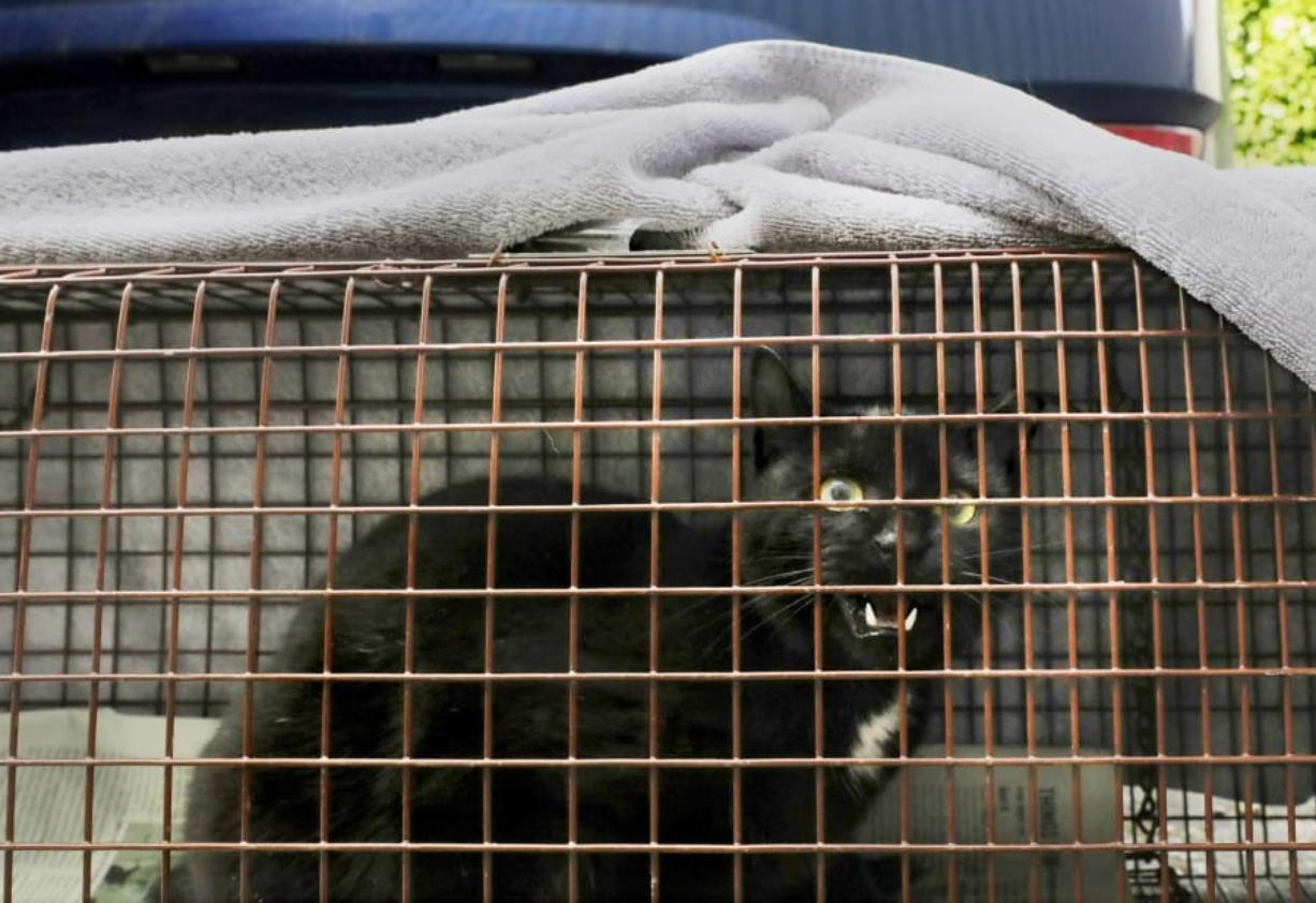 This feral cat caught in one of Whitney Phillips' traps is one of five she caught Friday, Feb. 14, 2020 in South Seattle. Phillips is part of the Alley Cat Project, which traps feral cats, has them neutered and sometimes returns them to their original sites. She provides them with daily food.