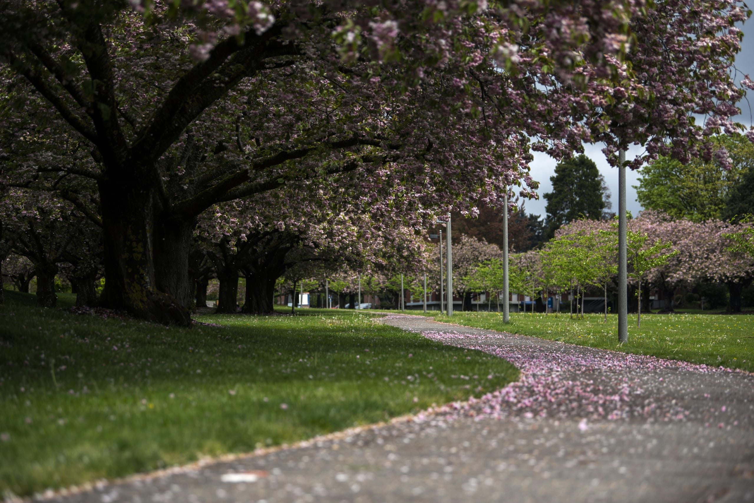 The sidewalks are covered in fallen blossoms from the Shirofugen cherry trees at Clark College in Vancouver on April 22, 2020.