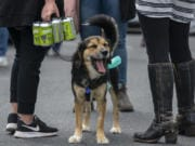 Tank, a 1-year-old mutt, yawns while owner Hannah Dollar carries her beer after visiting the Heathen Brewing beer truck in Battle Ground on Saturday.