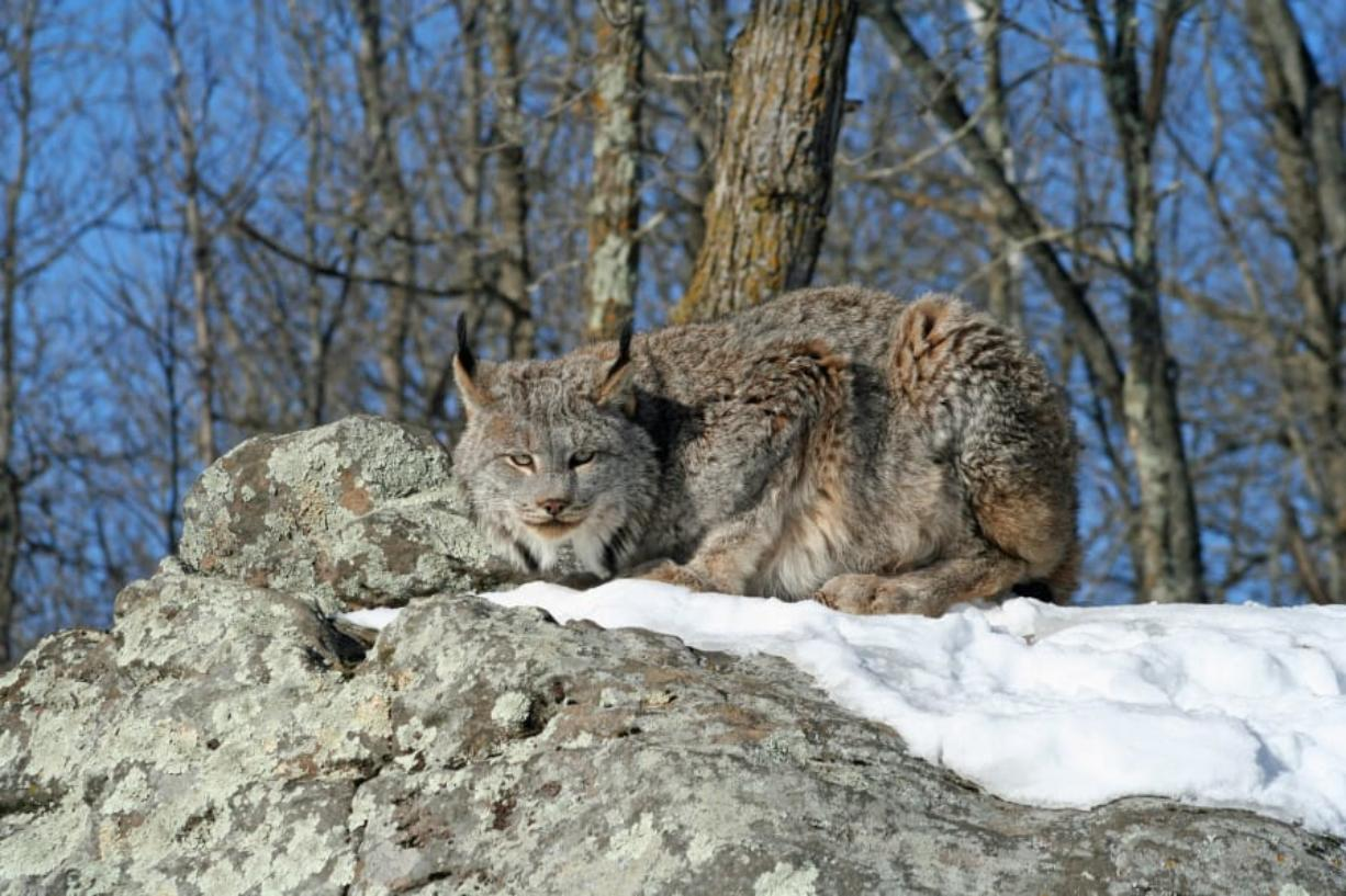 A Canada lynx is seen crouching on a rocky hill in the snow.