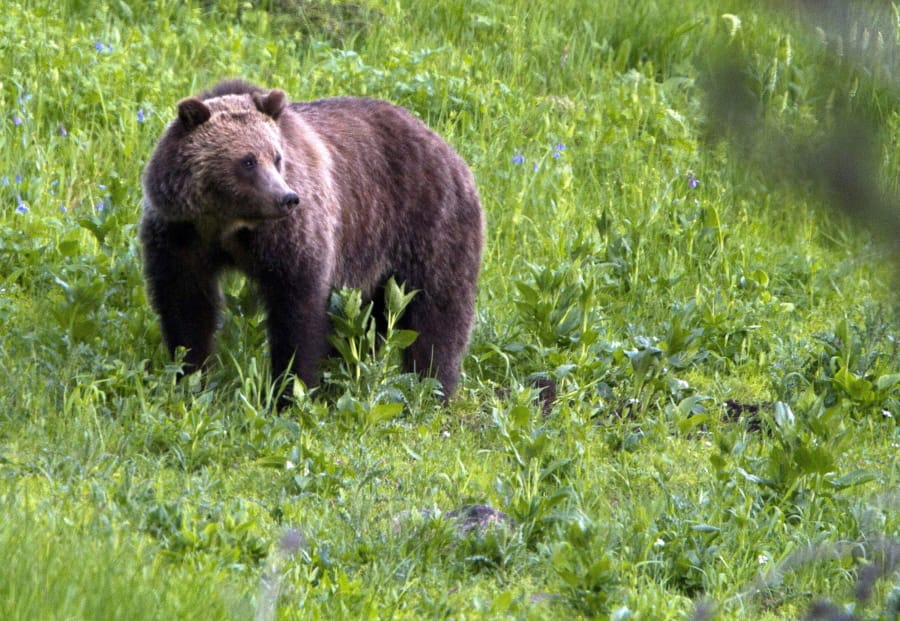 A grizzly bear roams near Beaver Lake in Yellowstone National Park, Wyo., in July 2011. Attorneys for the U.S. government and the state of Wyoming urged an appeals court Tuesday to throw out much of a judge's ruling that blocked the first grizzly bear hunts in the Lower 48 states in almost three decades.