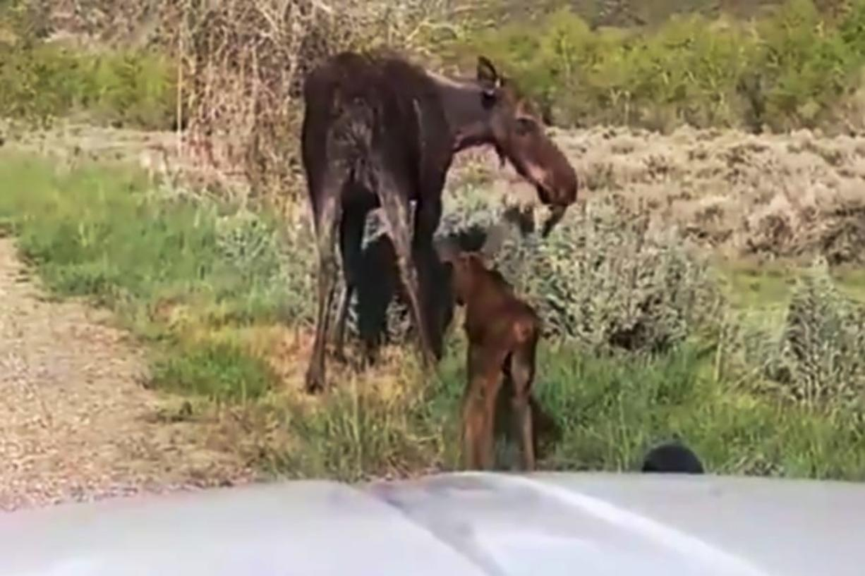 This Monday, May 18, 2020 image taken from a dashcam video provided by the Utah Highway Patrol shows a moose and newborn calves reuniting with their mother near Heber City, Utah. Sgt. Nick Street says the trooper noticed the hours-old calves on the road without their mother on his way home from work Monday. Worried they could be hit by a car, trooper Alexander Agin stopped and put up a traffic barrier. He then guided them away from traffic danger. Just as he led them off the pavement, the calves' mother arrived and began to charge the trooper. He scrambled back into the car and watched as they walked back into the woods.