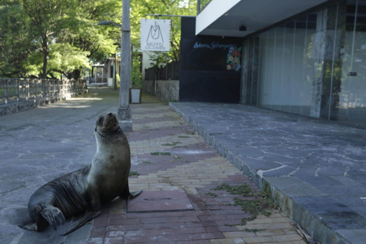 A sea lion sits May 2 outside a hotel that is closed because of the new coronavirus pandemic, in San Cristobal, Galapagos Islands, Ecuador.