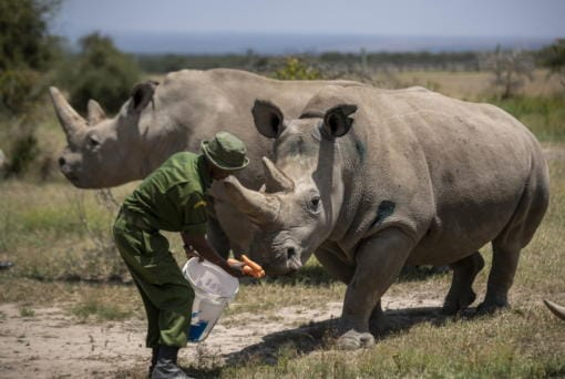 FILE - In this Friday, Aug. 23, 2019 file photo, female northern white rhinos Fatu, 19, right, and Najin, 30, left, the last two northern white rhinos on the planet, are fed some carrots by a ranger in their enclosure at Ol Pejeta Conservancy, Kenya. Groundbreaking work to keep alive the nearly extinct northern white rhino - population, two - by in-vitro fertilization has been hampered by travel restrictions caused by the new coronavirus.