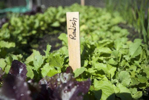 Radishes are a great choice for first-time gardeners. (Columbian files)