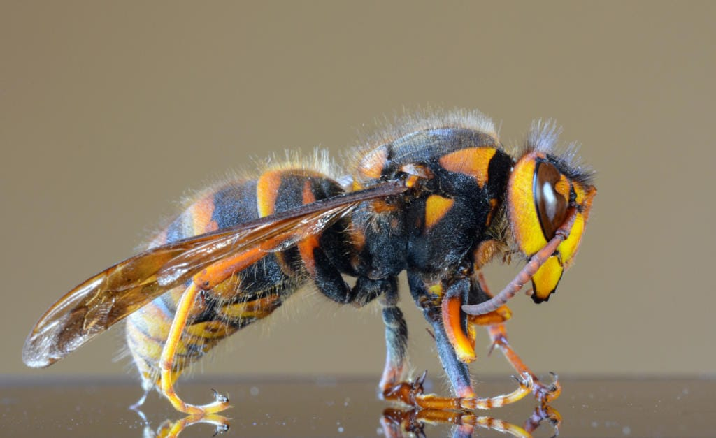 """Closeup macro of a Japanese giant hornet or """"murder hornet"""" because of the way they attack honey bees, the largest species of hornet in the world."""