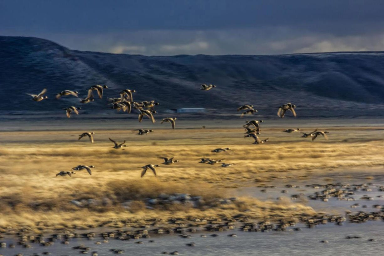 A flock of northern pintails fly over Mud Lake at Malheur National Wildlife Refuge in March 2020.