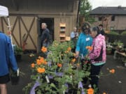 Plants for sale at the fair include evening primrose, lavender, iris, calla lilies, alstroemeria, hellebores, lilac, forsythia, violets and even a few Camas lilies.