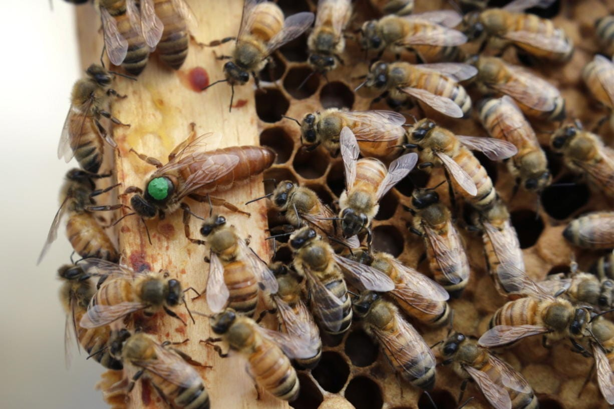 The queen bee (marked in green) and worker bees move around a hive at the Veterans Affairs in Manchester, N.H.