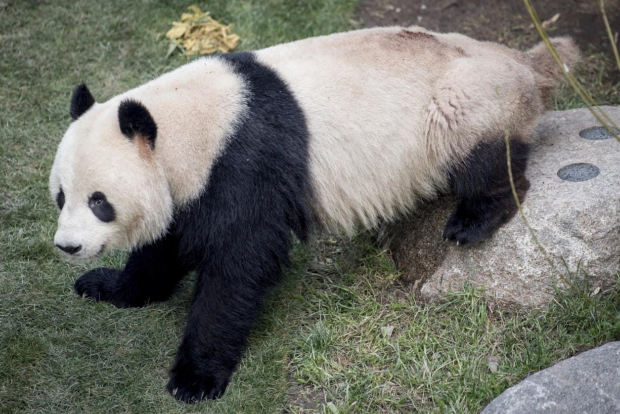 FILE - This Monday, April 8, 2019 file photo, shows the panda Xing Er at Copenhagen Zoo. Xing Er, one of Copenhagen Zoo's giant pandas, escaped from its enclosure, Monday June 8, 2020, and roamed the park before staff were able to sedate it and bring it back.