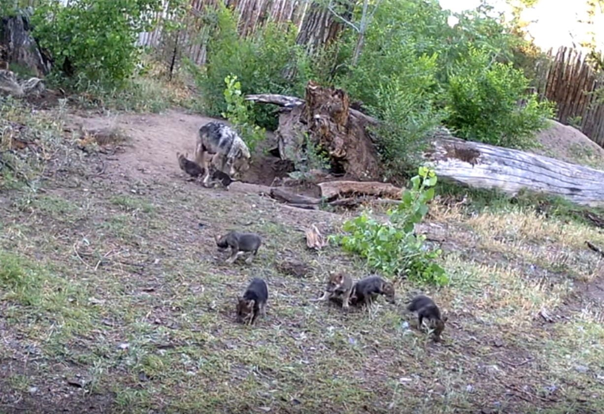 This June 3, 2020 image taken from a Web camera provided by ABQ BioPark shows Mexican gray wolf parents play with their second litter of seven pups born in May, who recently came out of their underground den for the first time to explore their environment at the ABQ BioPark in Albuquerque, N.M.