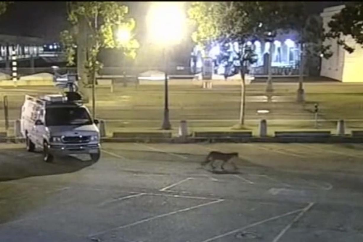 In this image from surveillance camera video, a young mountain lion wanders through a TV station's parking lot Tuesday in San Francisco.