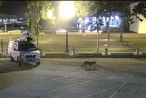 In this image from surveillance camera video, a young mountain lion wanders through a TV station's parking lot Tuesday in San Francisco. (KGO-TV/ABC7)