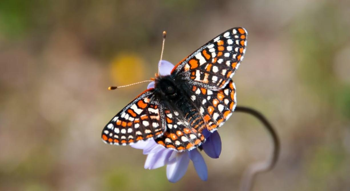 Quino checkerspot butterfly (Andrew Fisher/USFWS)