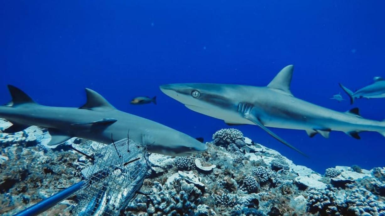 Reef shark populations are healthy in protected areas or inaccessible locations where fishing pressure is extremely low. They may be the last reefs on the planet to still harbor healthy densities of sharks, according to the Florida International University study.
