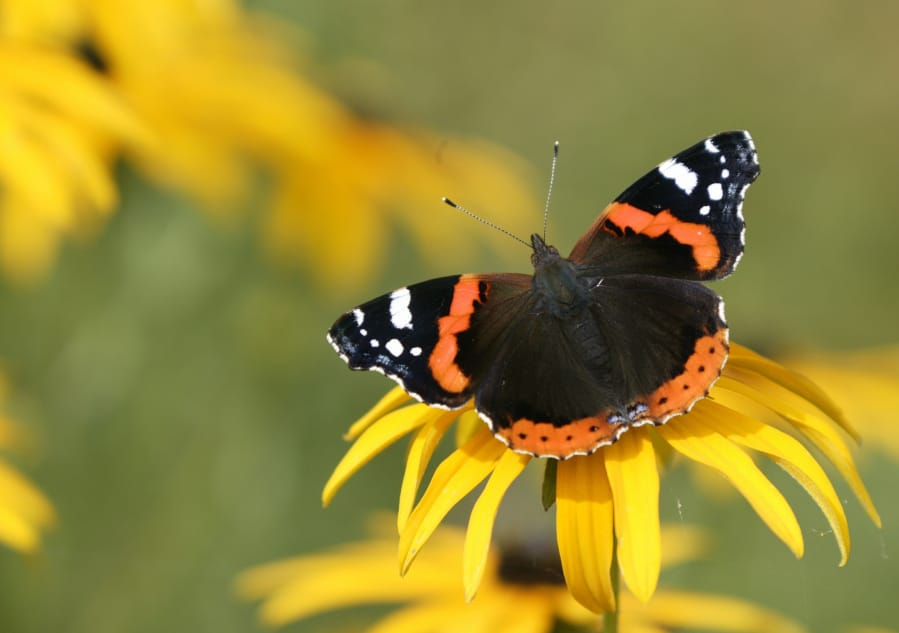 Red admiral butterfly on  rudbeckia