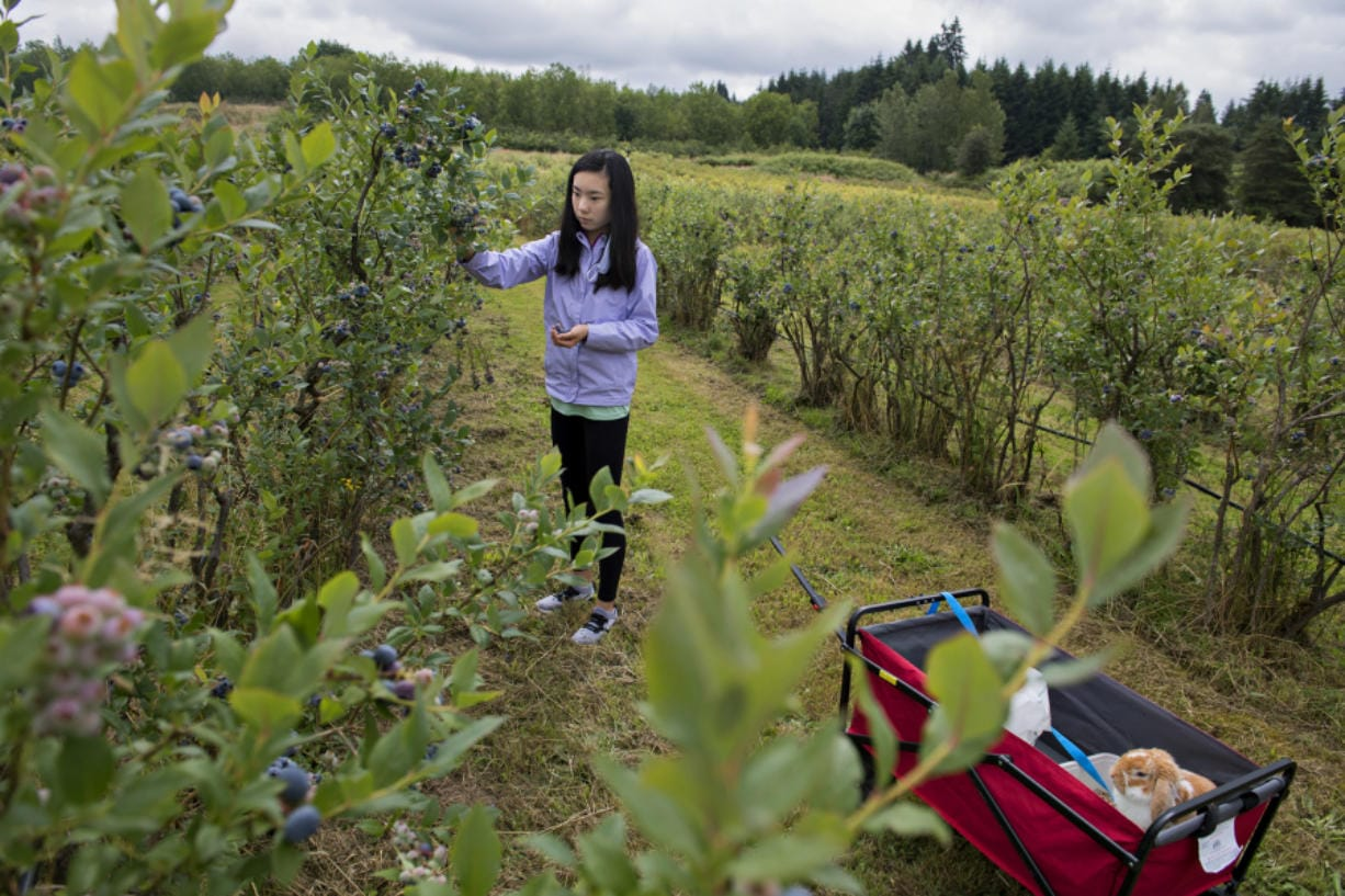 Callie Chu, 13, of Beaverton, Ore., joins her bunny, Fluffy, as she picks blueberries at Prairie Berry Farms in Hockinson on Monday.