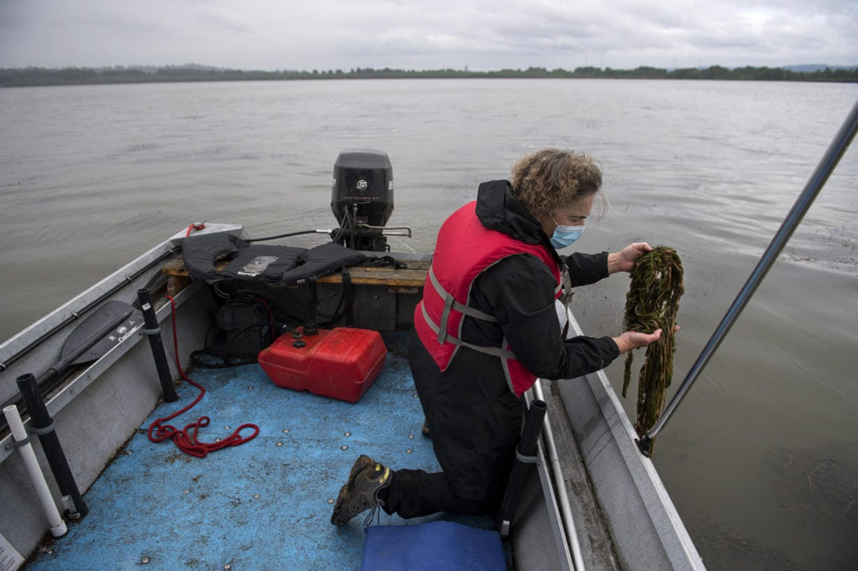 Kathy Gillespie of Friends of Vancouver Lake displays a handful of milfoil at Vancouver Lake. The group spearheaded an effort to eradicate the milfoil from the lake.