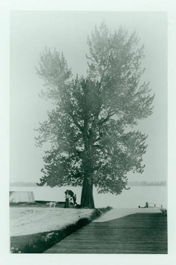 This undated photo shows the Witness Tree that Amos Short marked to delineate his land claim from the property of the Hudson's Bay Company.