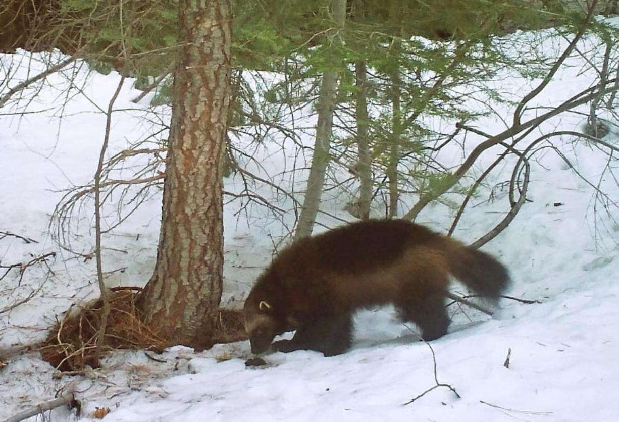 A mountain wolverine is seen in the Tahoe National Forest near Truckee, Calif., in 2016, a rare sighting of the predator in the state.