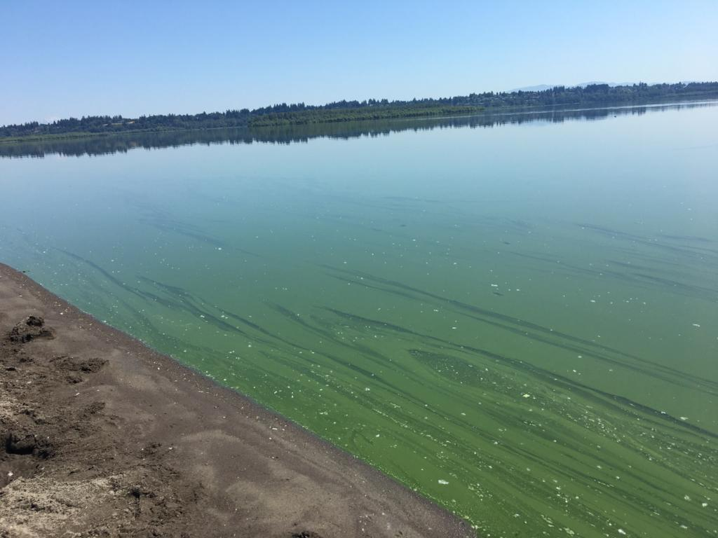 Vancouver Lake appears to be covered in blue-green algae.