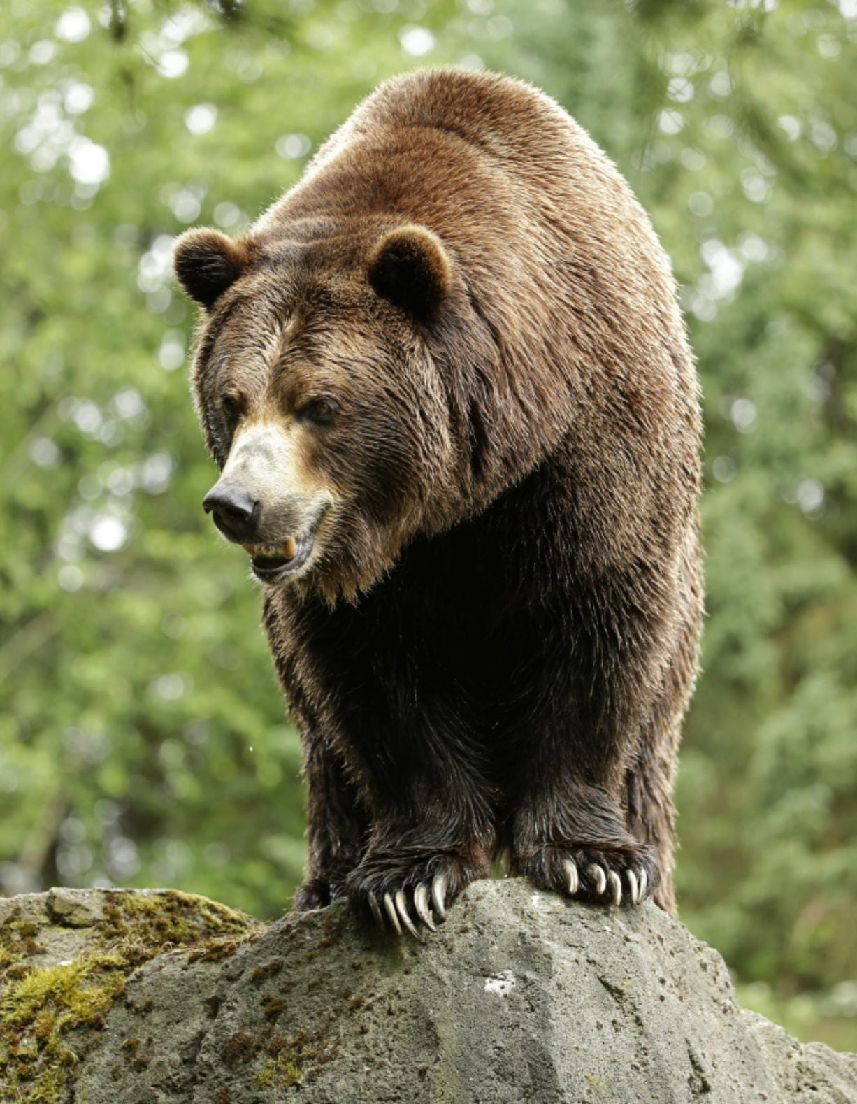 A grizzly bear at the Woodland Park Zoo waits for a salmon to be tossed to him in Seattle.