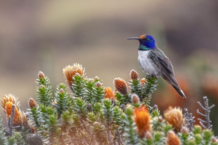 A male Hillstar hummingbird perches on a Chuquiraga jussieui flower in Ecuador. A study released July 17 finds that the species of hummingbirds can sing and hear frequencies beyond the range of other birds.