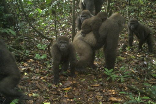 This photo taken by a camera trap shows a group of Cross River gorillas in the Mbe Mountains of Nigeria on Monday, June 22, 2020. Conservationists have captured the first images of a group of rare Cross River gorillas with multiple babies in the Mbe mountains of Nigeria, proof that the subspecies once feared to be extinct is reproducing amid protection efforts.
