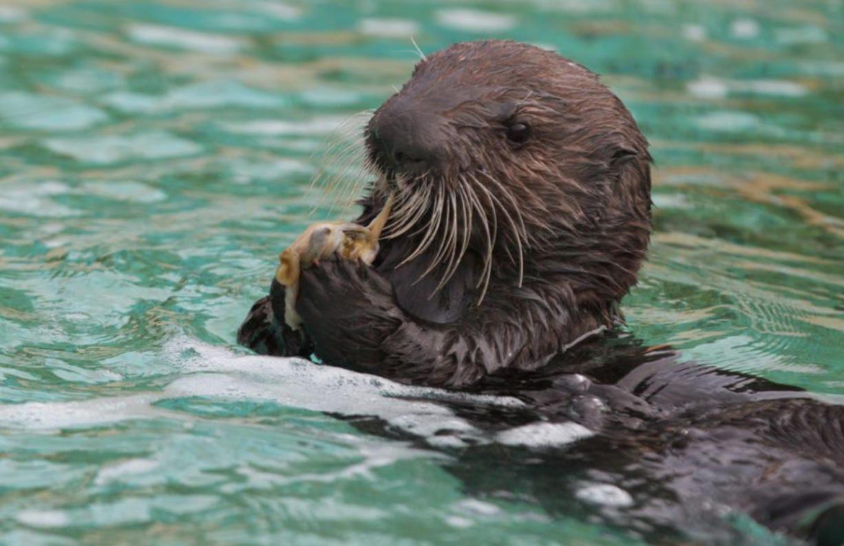 A sea otter pup the Oregon Coast Aquarium in Newport, Ore. (Randy L.