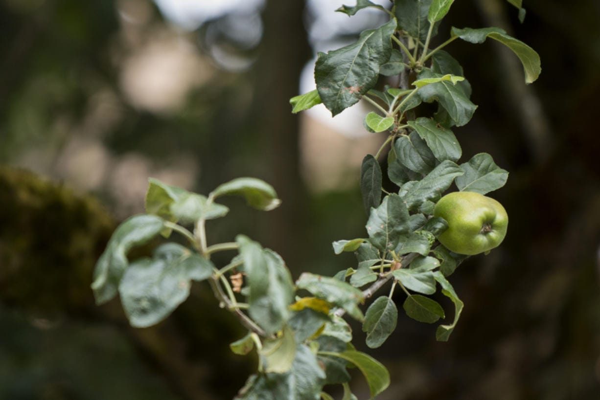An apple grows on the branch of a descendant from the Old Apple Tree at Clark County Historical Museum.