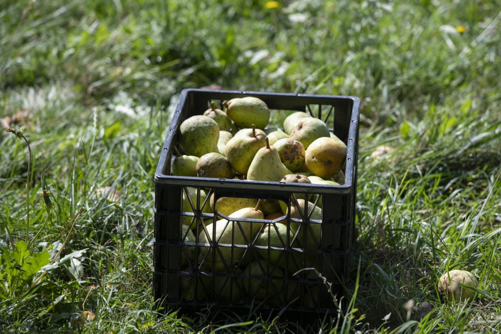 A full crate of Bartlett pears is set aside for Urban Abundance program coordinator Lynsey Horne to pick up at Omega Farms in Ridgefield in 2019.