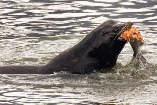FILE - In this April 24, 2008, file photo, a sea lion eats a salmon in the Columbia River near Bonneville Dam in North Bonneville, Wash. Federal authorities on Friday, Aug. 14, 2020, granted permission for Washington state, Oregon and several Native American tribes to begin killing hundreds of salmon-hungry sea lions in the Columbia River and its tributaries over the next five years.