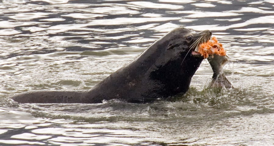 FILE - In this April 24, 2008, file photo, a sea lion eats a salmon in the Columbia River near Bonneville Dam in North Bonneville.