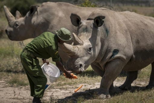FILE - In this Friday, Aug. 23, 2019, file photo, female northern white rhinos Fatu, right, and Najin, left, the last two northern white rhinos on the planet, are fed some carrots by a ranger in their enclosure at Ol Pejeta Conservancy, in Kenya. Although scientists have long focused on the world's predators, a massive new study finds that herbivores, critters that eat plants, are the animals most at risk of extinction. A bit more than one in four species of herbivores are considered threatened, endangered or vulnerable by the International Union for Conservation of Nature, the world's scientific authority on extinction risk, according to a study published Wednesday, Aug. 5, 2020, in the journal Science Advances.