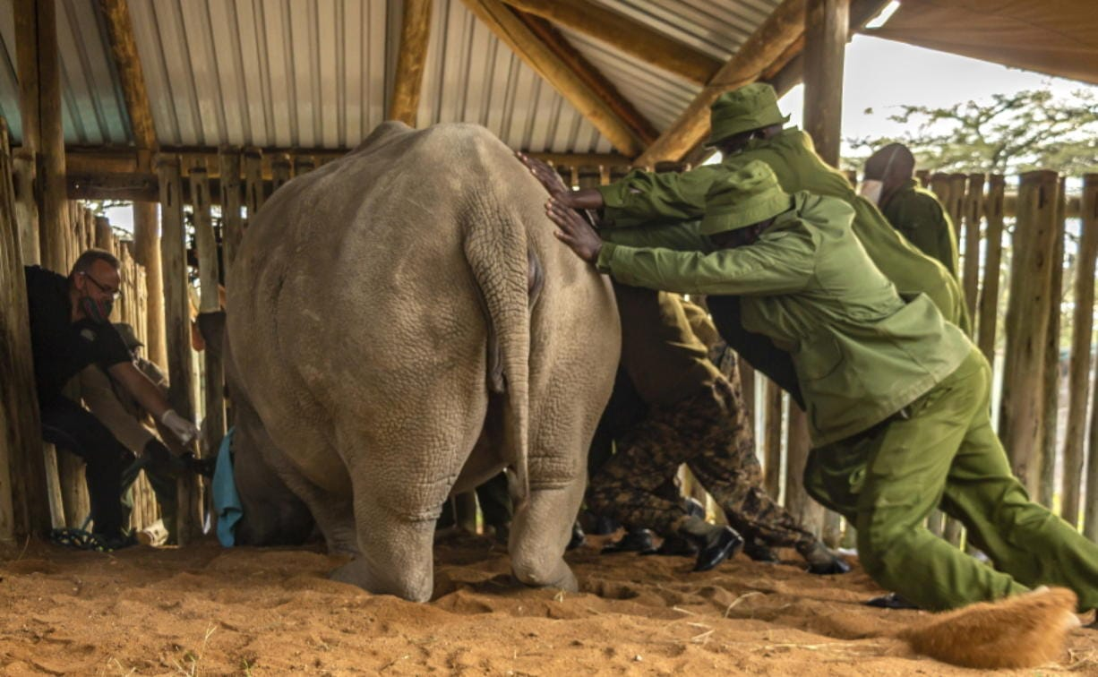A team of scientists and local rangers prepare to extract eggs from one of the two remaining female northern white rhinos at an enclosure at Ol Pejeta Conservancy, Kenya, Tuesday, Aug. 18, 2020. An international team of scientists said they have successfully extracted eggs from the last two remaining northern white rhino females, a step on the way to possibly save the subspecies from extinction.